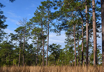 Savannah River forest